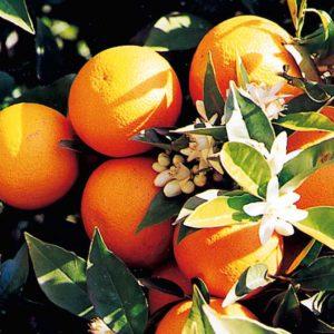 Las naranjas típicas de Alcanar